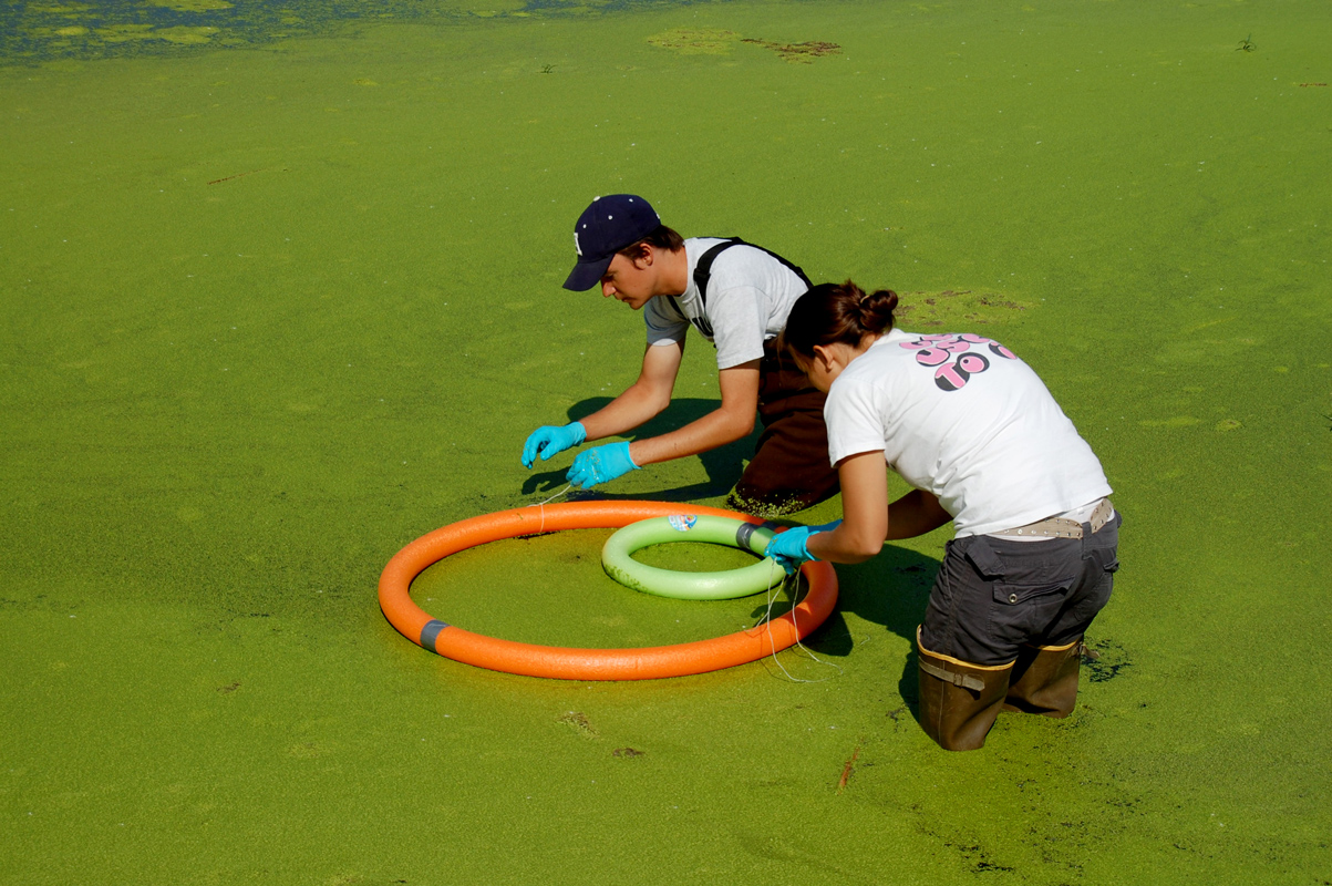 Students in a pond collecting duckweed